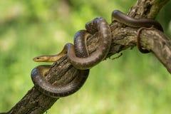 Zamenis Aesculapian de serpent longissimus dans la République Tchèque image stock