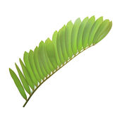 Zamia furfuracea leaf or cardboard palm leaf isolated Stock Images