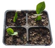 Zamia plant leaf Stock Photo