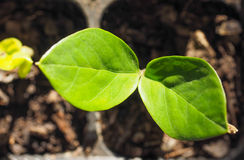Zamia plant leaf. Zamia Zamia Furfuracea plant sprouts Royalty Free Stock Photos