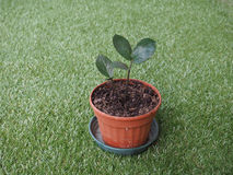 Zamia plant leaf. Zamia Zamia Furfuracea plant sprouts over green Stock Photo