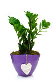 Zamia in pot with heart isolated Royalty Free Stock Photography