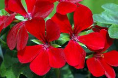zamieć pelargonium ciemnej czerwieni Obraz Royalty Free