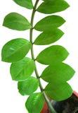 Zamiifoliainstallatie van Zamioculcas in een pot Stock Afbeeldingen