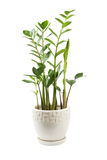 Zamioculcas Photographie stock