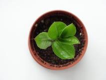 Zamioculcas, albero del dollaro Fotografia Stock