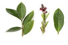 Zamioculcas 美元树 E 绿色叶子 室内花 r r 免版税库存图片