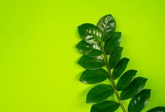 Zamioculcas home flower of green color. lime background. The decor is inside the apartment. Nature tropics stock images