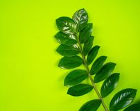 Zamioculcas home flower of green color. lime background. The decor is inside the apartment. Nature tropics stock image