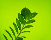 Zamioculcas home flower of green color. lime background. The decor is inside the apartment. Nature tropics royalty free stock photography