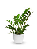 Zamioculcas a potted plant isolated over white Royalty Free Stock Photo