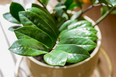 Zamioculcas Royalty Free Stock Photos