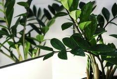 Zamioculcas zamifolia or Zanzibar gem plant. In the bathroom Royalty Free Stock Photos