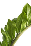 Zamioculcas zamiifolia or Emerald Palm leaves, Fresh glossy foliage isolated on white background Royalty Free Stock Photography