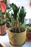 Zamioculcas zamiifolia - green house plant aka dollar tree. Zamioculcas zamiifolia - green house plant aka dollar tree Royalty Free Stock Photography