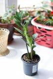 Zamioculcas zamiifolia - green house plant aka dollar tree. Zamioculcas zamiifolia - green house plant aka dollar tree Stock Photos