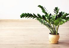 Zamioculcas zamiifolia - green house plant. In the interior of the room royalty free stock image