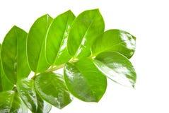 Zamioculcas zamiifolia isolated on white  Stock Photo