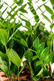 Zamioculcas zamiifolia potted house plant Stock Photography