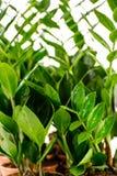 Zamioculcas zamiifolia puszkująca domowa roślina Fotografia Stock