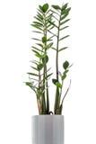 Zamioculcas zamiifolia on white background Royalty Free Stock Image