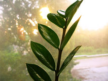 Zamioculcas zamiofolia家植物在玻璃窗干燥雨珠太阳亮光背景照片的花叶子 免版税库存照片