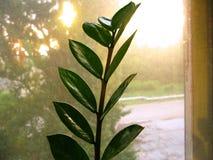 Zamioculcas zamiofolia家植物在玻璃窗干燥雨珠太阳亮光背景照片的花叶子 免版税图库摄影