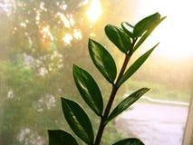 Zamioculcas zamiofolia家植物在玻璃窗干燥雨珠太阳亮光背景照片的花叶子 免版税库存图片