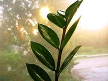 Zamioculcas zamiofolia home plant flower leaf on the window glass dry raindrops sun shine background photo Royalty Free Stock Photo