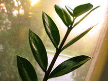 Zamioculcas zamiofolia home plant flower leaf on the window glass dry raindrops sun shine background photo Royalty Free Stock Photos