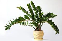 Zamioculcaszamiifolia - groene huisinstallatie stock fotografie