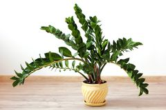 Zamioculcaszamiifolia - groene huisinstallatie stock foto's