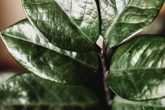 Zamiokulkas green leaves macro shot, tropical hose plant stock photography