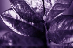 Zamiokulkas leaves, tropical hose plants in ultra violet color royalty free stock images