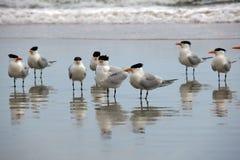 Zamknięty spojrzenie przy kierdlem Seagulls Stoi w Mokrym piasku fotografia royalty free