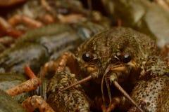 zamknięci crayfish żyją zamknięty Obrazy Stock