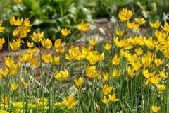 zamknięci wiśnia kwiaty uprawiają ogródek czerwonej wiosna tulipany w górę biel Obraz Stock