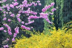 zamknięci wiśnia kwiaty uprawiają ogródek czerwonej wiosna tulipany w górę biel Fotografia Stock