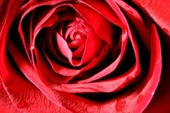 zamknięta czerwień wzrastał zamknięty Obraz Royalty Free