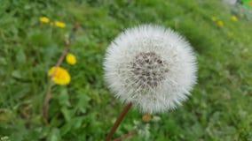 zamknięta dandelion kwiatu ilustracja zamknięty vector zdjęcie stock