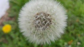 zamknięta dandelion kwiatu ilustracja zamknięty vector zdjęcia stock