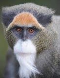 zamknięta debrazzas twarzy guenon małpa zamknięty fotografia stock