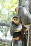 zamknięta douc langur małpa zamknięty Obraz Stock