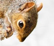 zamknięta grey głowy wiewiórka zamknięty Obrazy Royalty Free