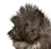 zamknięta gwinei peruvian świnia w górę potomstw Fotografia Royalty Free