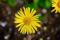 zamknięta kwiatów ostrości miękka część w górę kolor żółty Zdjęcia Stock