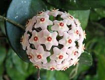 zamknięta kwiatu Hoya roślina zamknięty Fotografia Stock