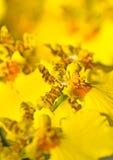 zamknięta kwiatu oncidium orchidea zamknięty Zdjęcia Royalty Free