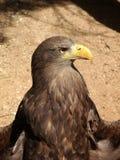 zamknięta orła głowy stojaka pozycja zamknięty Obraz Royalty Free