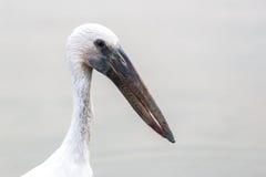 Zamknięta ostrość na głowie i szyi długi belfra ptak Fotografia Stock